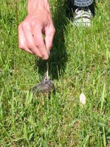 Feeding baby Robin 2.
