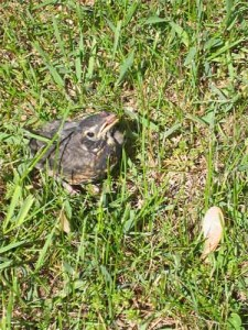 Feeding baby Robin 3.